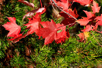 Red Leaves in Pines 4548