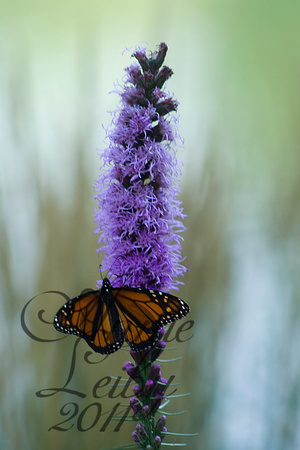 Monarch on Purple 1224